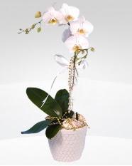 1 dallı orkide saksı çiçeği  Sinop çiçekçi telefonları