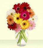 Sinop çiçek satışı  cam yada mika vazoda 15 özel gerbera