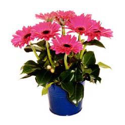 vazo içerisinde gerbera çiçekleri   Sinop hediye sevgilime hediye çiçek