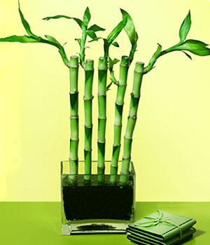 Sinop güvenli kaliteli hızlı çiçek  Good Harmony Lucky Bamboo camda