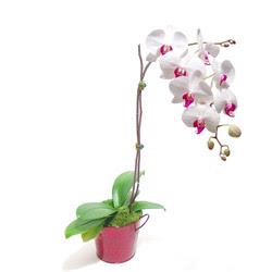 Sinop çiçekçi mağazası  Saksida orkide