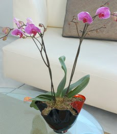 Sinop online çiçek gönderme sipariş  tek dal ikili orkide saksi çiçegi