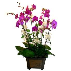 Sinop çiçek online çiçek siparişi  4 adet orkide çiçegi