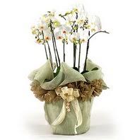 Sinop cicek , cicekci  3 dal orkide , saksi çiçegi , 3 kök orkide
