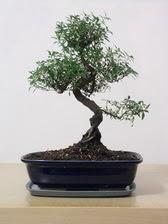 ithal bonsai saksi çiçegi  Sinop anneler günü çiçek yolla