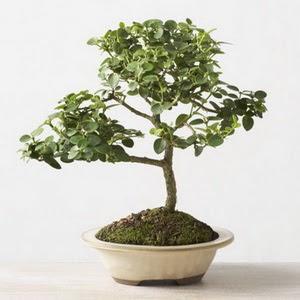 ithal bonsai saksi çiçegi  Sinop online çiçekçi , çiçek siparişi