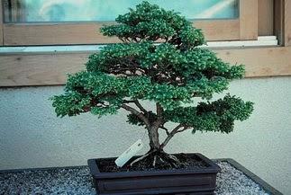 ithal bonsai saksi çiçegi  Sinop kaliteli taze ve ucuz çiçekler