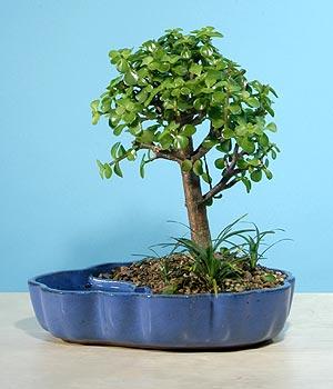 ithal bonsai saksi çiçegi  Sinop uluslararası çiçek gönderme