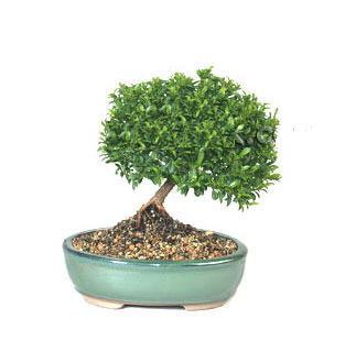 ithal bonsai saksi çiçegi  Sinop çiçek servisi , çiçekçi adresleri