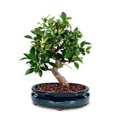 ithal bonsai saksi çiçegi  Sinop cicek , cicekci
