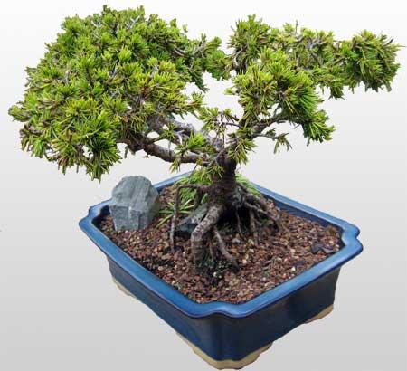 ithal bonsai saksi çiçegi  Sinop online çiçek gönderme sipariş