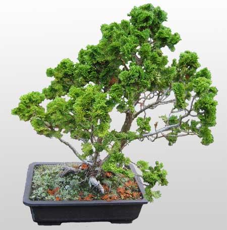 ithal bonsai saksi çiçegi  Sinop çiçek , çiçekçi , çiçekçilik