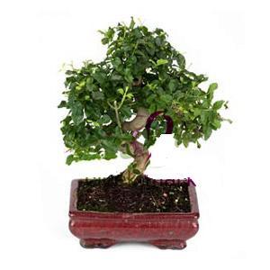 ithal bonsai saksi çiçegi  Sinop güvenli kaliteli hızlı çiçek