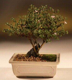 ithal bonsai saksi çiçegi  Sinop İnternetten çiçek siparişi