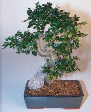 Sinop ucuz çiçek gönder  ithal bonsai saksi çiçegi  Sinop cicek , cicekci