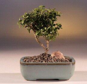 Sinop hediye çiçek yolla  ithal bonsai saksi çiçegi  Sinop cicekciler , cicek siparisi