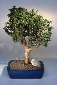 Sinop çiçekçi mağazası  ithal bonsai saksi çiçegi  Sinop uluslararası çiçek gönderme