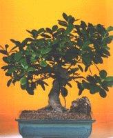 Sinop çiçek siparişi sitesi  ithal bonsai saksi çiçegi  Sinop 14 şubat sevgililer günü çiçek
