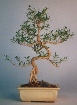 Sinop internetten çiçek satışı  ithal bonsai saksi çiçegi  Sinop anneler günü çiçek yolla