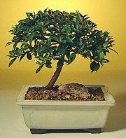 Sinop internetten çiçek siparişi  ithal bonsai saksi çiçegi  Sinop çiçek online çiçek siparişi