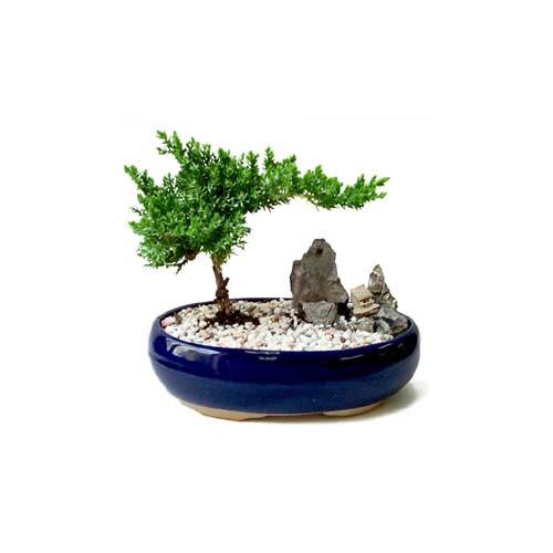 ithal bonsai saksi çiçegi  Sinop çiçekçi mağazası