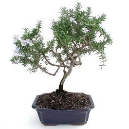 ithal bonsai saksi çiçegi  Sinop çiçek siparişi sitesi