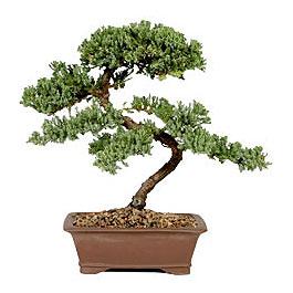 ithal bonsai saksi çiçegi  Sinop ucuz çiçek gönder