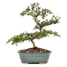Sinop çiçek , çiçekçi , çiçekçilik  ithal bonsai saksi çiçegi  Sinop ucuz çiçek gönder