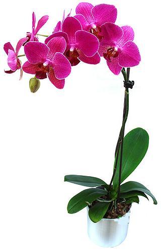 Sinop online çiçek gönderme sipariş  saksi orkide çiçegi