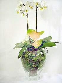 Sinop internetten çiçek satışı  Cam yada mika vazoda özel orkideler