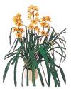Sinop uluslararası çiçek gönderme  Orchiede ithal büyük boy saksi