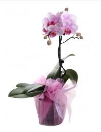 1 dal pembe orkide saksı çiçeği  Sinop çiçek gönderme sitemiz güvenlidir