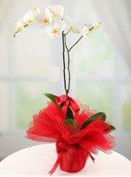 1 dal beyaz orkide saksı çiçeği  Sinop çiçek gönderme