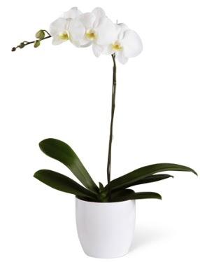 1 dallı beyaz orkide  Sinop kaliteli taze ve ucuz çiçekler