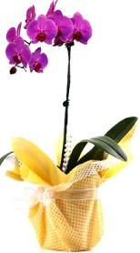 Sinop cicek , cicekci  Tek dal mor orkide saksı çiçeği