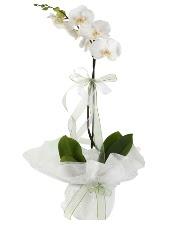 1 dal beyaz orkide çiçeği  Sinop anneler günü çiçek yolla