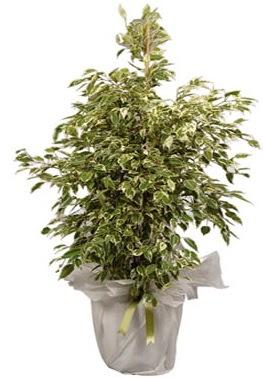 Orta boy alaca benjamin bitkisi  Sinop cicekciler , cicek siparisi