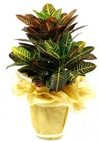 Orta boy kraton saksı çiçeği  Sinop kaliteli taze ve ucuz çiçekler