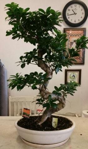 100 cm yüksekliğinde dev bonsai japon ağacı  Sinop çiçek , çiçekçi , çiçekçilik