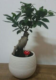 Bonsai japon ağacı saksı çiçeği  Sinop ucuz çiçek gönder