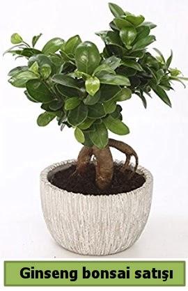 Ginseng bonsai japon ağacı satışı  Sinop çiçek siparişi sitesi