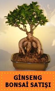 Ginseng bonsai satışı japon ağacı  Sinop çiçek online çiçek siparişi