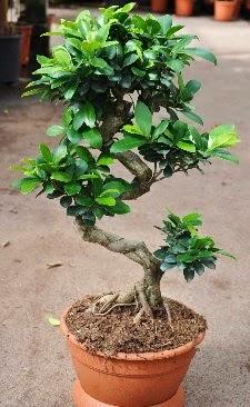 Orta boy bonsai saksı bitkisi  Sinop 14 şubat sevgililer günü çiçek