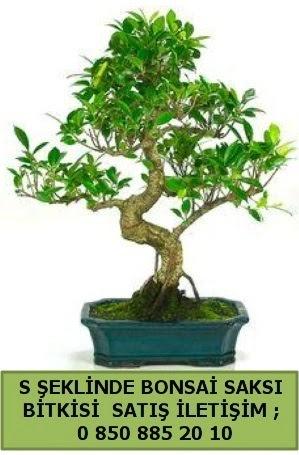 İthal S şeklinde dal eğriliği bonsai satışı  Sinop çiçekçi mağazası