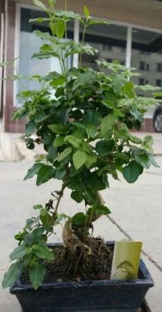 Bonsai japon ağacı saksı bitkisi  Sinop anneler günü çiçek yolla