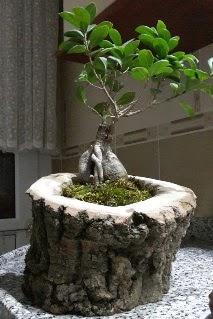 Ahşap kütük içerisinde ginseng bonsai  Sinop 14 şubat sevgililer günü çiçek