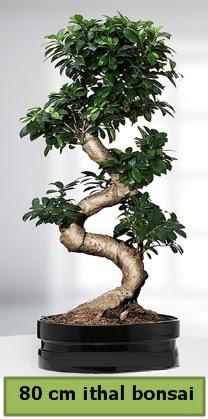 80 cm özel saksıda bonsai bitkisi  Sinop çiçek siparişi sitesi