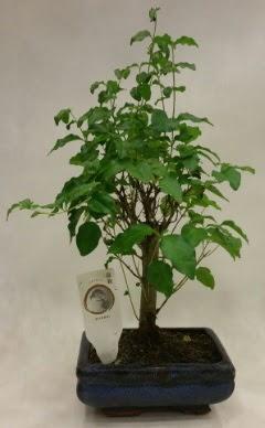 Minyatür bonsai japon ağacı satışı  Sinop çiçek siparişi sitesi