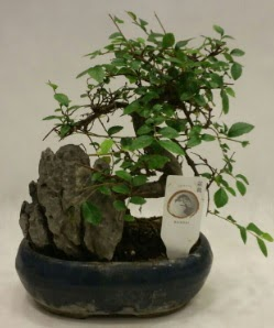 İthal 1.ci kalite bonsai japon ağacı  Sinop internetten çiçek satışı