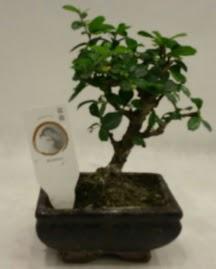 Küçük minyatür bonsai japon ağacı  Sinop çiçekçi mağazası